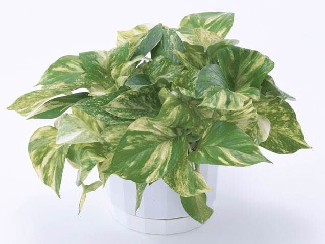 17 best ideas about indoor house plants on pinterest for Easy houseplants safe for pets