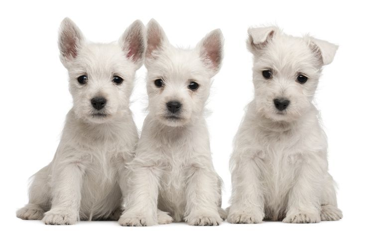 From allergies to mange 12 puppy skin problems and