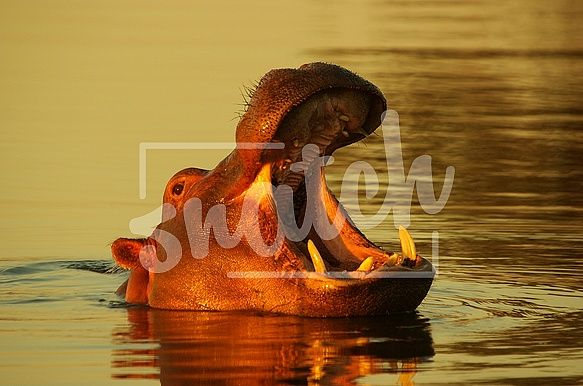 Sunset Hippo in water