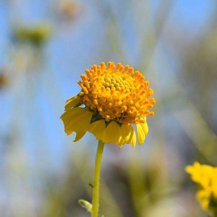 Aan de westkust van Amerika kenmerkt de lente zich doorgaans door een paar bescheiden bloemetjes en wat plukjes versgras tussen de stenen van de het vaak