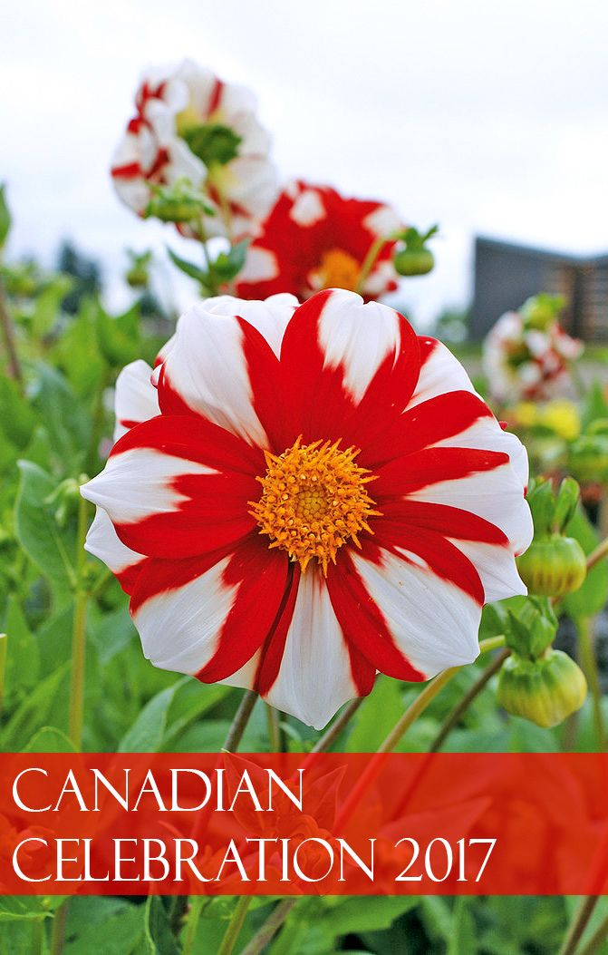 Celebrate Canada's 150th Birthday this summer by growing an unforgettable flower show.  Florissa's Canadian Celebration (Fire and Ice) Dahlia promises continuous flowers July through October.