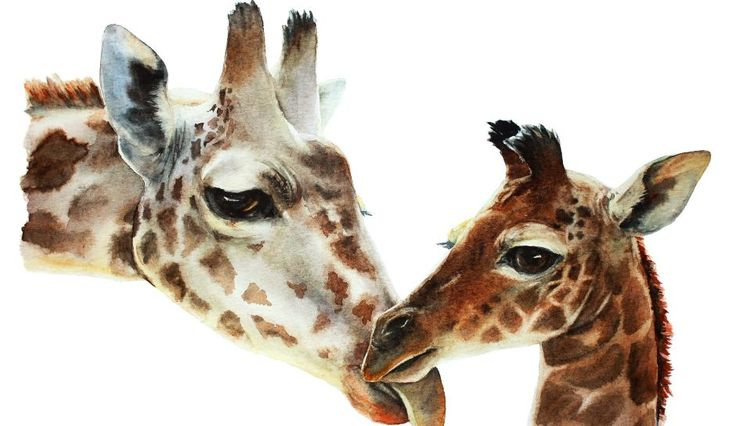 YouTube Giraffe Cam: April's Live Birth At Animal Adventure Park, Update Notes 'Wetness' Around Back End