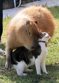 Capybara Madness! Meet a Giant Rodent Who Hugs Cats