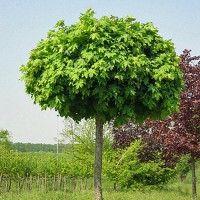 Acer platanoides 'Globosum' Noorse bolesdoorn