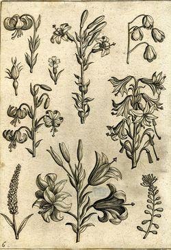 Adriaen Collaert Florilegium