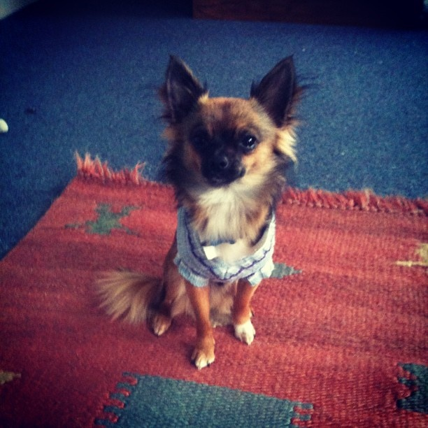 Bonzo the Chihuahua in his formal attire #chihuahua