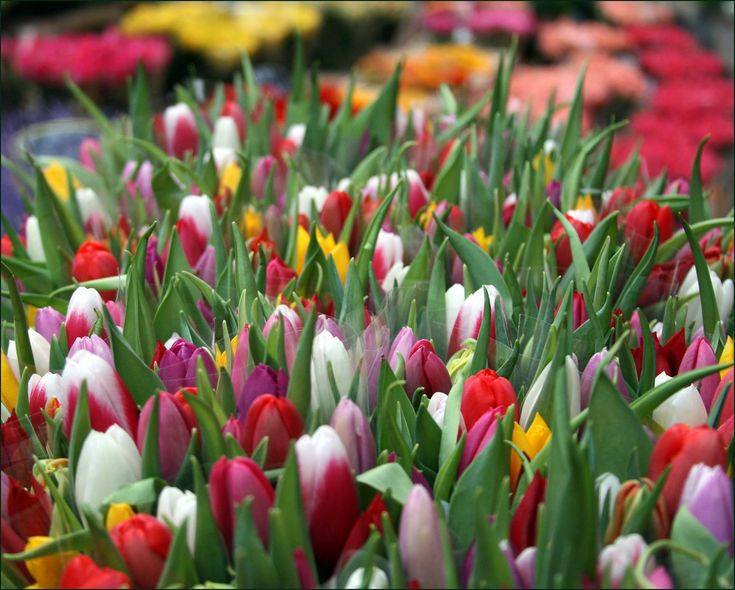 tulip-flower