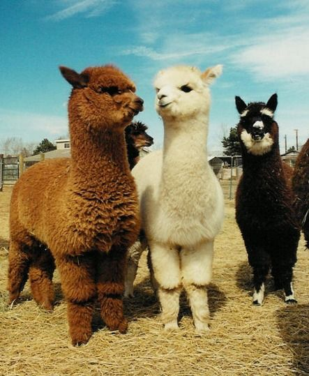 Llamas - plus the last one on the right looks like a Schnauzer!!! (I really want that one when I open my Llama farm!)  ;)