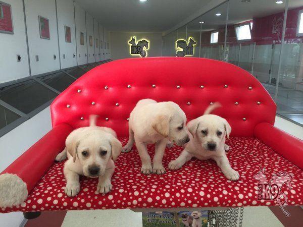 Satılık Labrador Retriever Yavruları | Club K9 Köpek Çiftliği ve Binicilik Merkezi