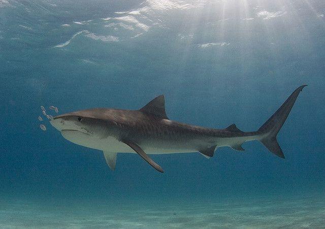Les requins tigres, dont le corps est brun-gris et strié par des zébrures verticales, peuvent atteindre 4 mde long et peser jusqu'à 500 kg....