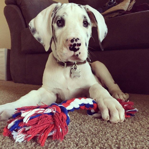 And this puppy Great Dane with a perfect peppered nose. | 23 Speckly Puppies Who Will Add Sunshine To Your Life