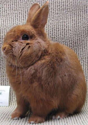 Thrianta Rabbit newest breed in American Rabbit Breeders Association.
