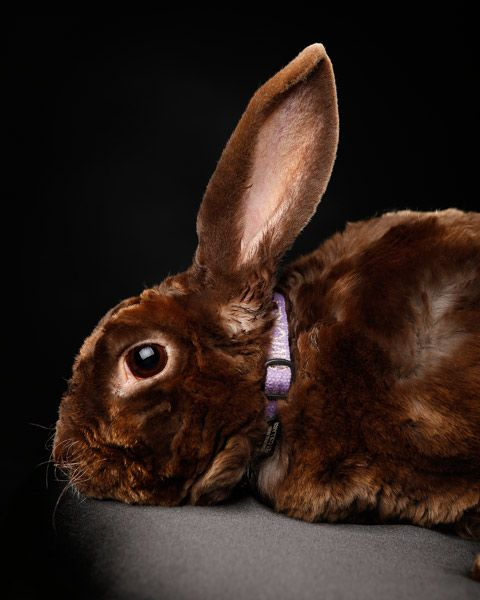 Beautiful brown satin rabbit photographed in our Perth studio