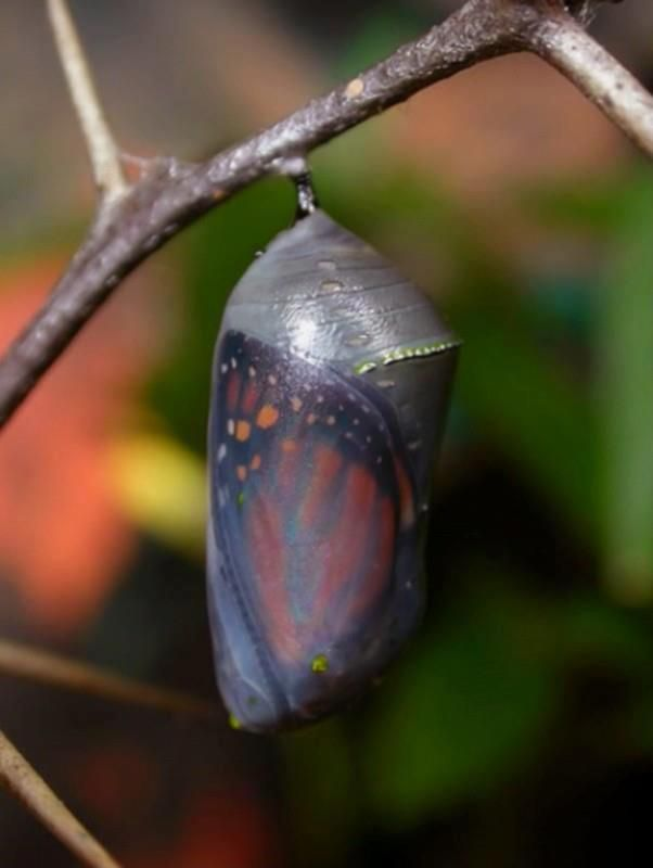 Mariposa monarca justo antes de emerger.