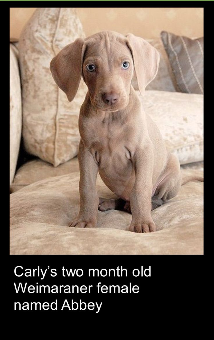 Carly's two month old Weimaraner puppy named Abbey.