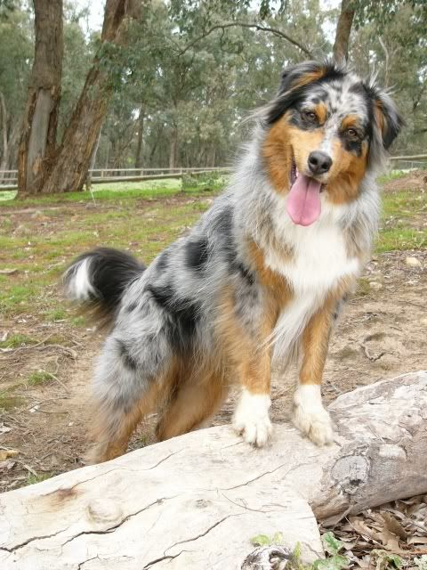 die besten 25 australian shepherd mix ideen auf pinterest border collie mischung. Black Bedroom Furniture Sets. Home Design Ideas