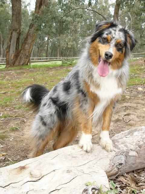 bergamasco shepherd dog photo | Bernese Mountain Dog Mixed With Australian Shepherd