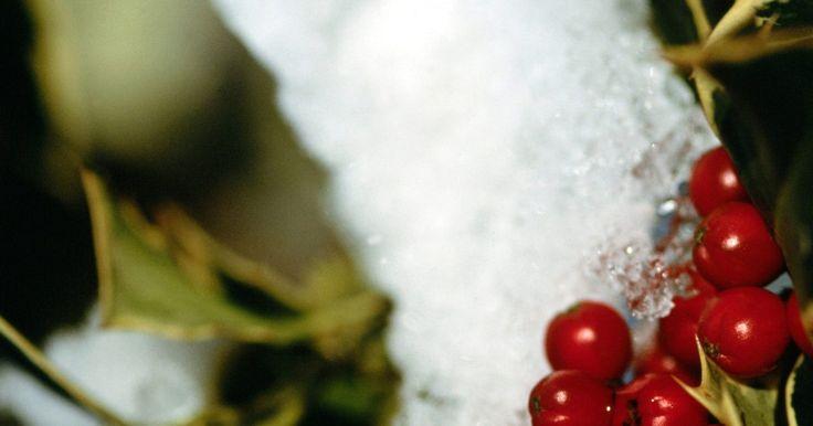 ¿Qué árboles de hoja perenne tienen bayas rojas?. Los árboles de hoja perenne, o plantas que mantienen su follaje durante todo el año, ofrecen la vista de bienvenida de color y textura en el paisaje en los meses de invierno, cuando permanecen desnudas las plantas caducas. Varias especies de árboles de hoja perenne producen frutos rojos. Estas plantas proporcionan alimento y hábitat a animales ...