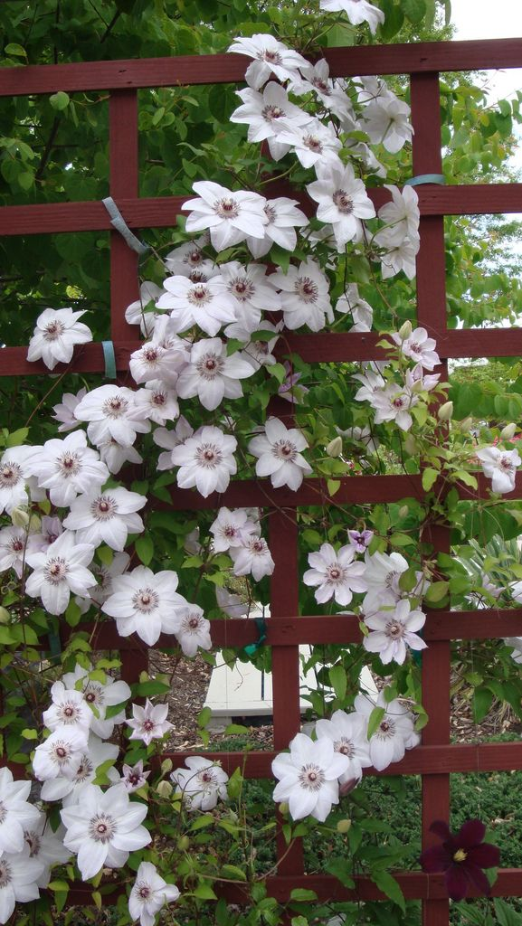 Clematis 'Miss Bateman' and 'C. 'Niobe'