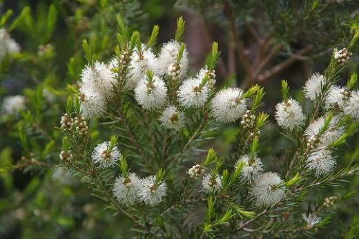 Tea Tree Essential Oil: history and benefits