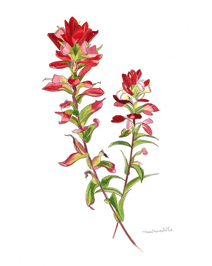 Had this watercolor made for the dining room (goes with the blue bonnet painting also on this board) Indian Paintbrush // Fine Art Print // Print of Original Drawing by Ironbees on Etsy https://www.etsy.com/listing/233845280/indian-paintbrush-fine-art-print-print