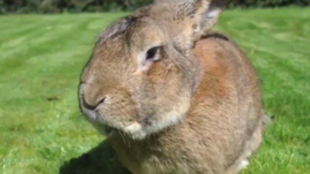 Meet Darius the world's biggest rabbit at 4ft long and weighing four stone. But he has competition to his crown from his son Jeff