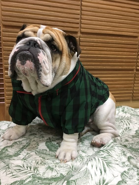 Here Are Some Of The Best English Bulldog Names From The Good People Of Instagram Buldog With Images Bulldog Names Bulldog Bulldog Puppies