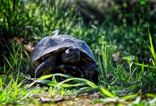Την ονόμασα Adele: hello-να from the other side. #turtle #nature #naturephotography #naturelovers #nature_lovers #nature_shooters #nature_greece #