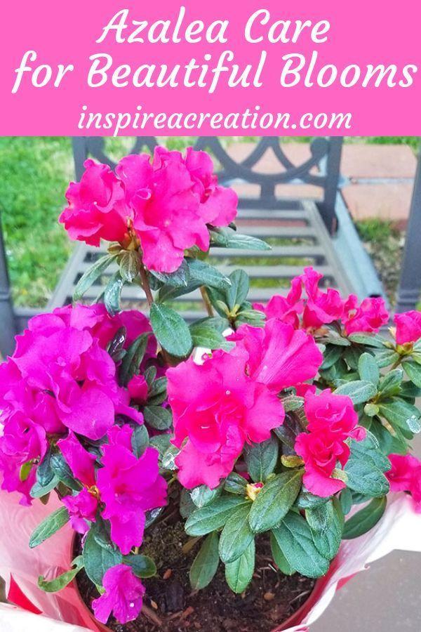 Azalea Care For Beautiful Blooms Azaleas Care Azaleas Beautiful Blooms