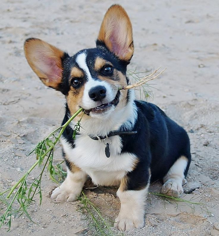 Cutie-pie.  This kind of personifies the typical corgie personality...happy, happy, happy!