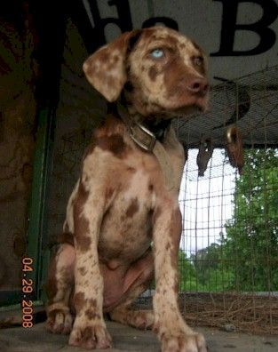 The Catahoula Hog Dog: Who I Am and What I Am Going to Do