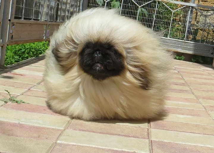 i miss my pekingese bunny, and i hurt more than you know sometimes