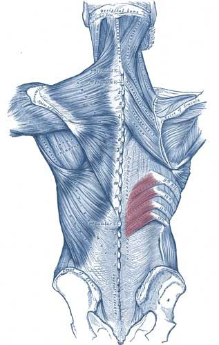 Serratus Posterior Inferior Muscle