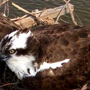 Una bella webcam in streaming puntata su un nido di falchi pescatori nella Baia di Chesapeake nel Maryland (Usa).  Per collegarti alla cam clicca QUI.  Buon