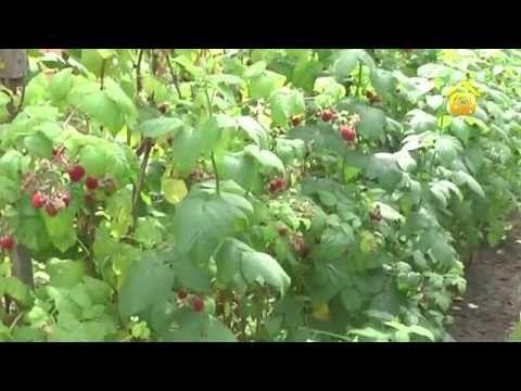 Чтобы малины было много! // FORUMHOUSE - YouTube