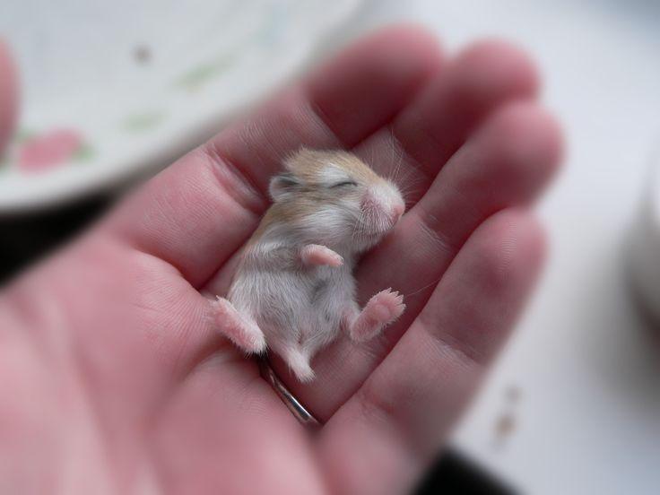 A baby robo dwarf hamster my favorite little pet