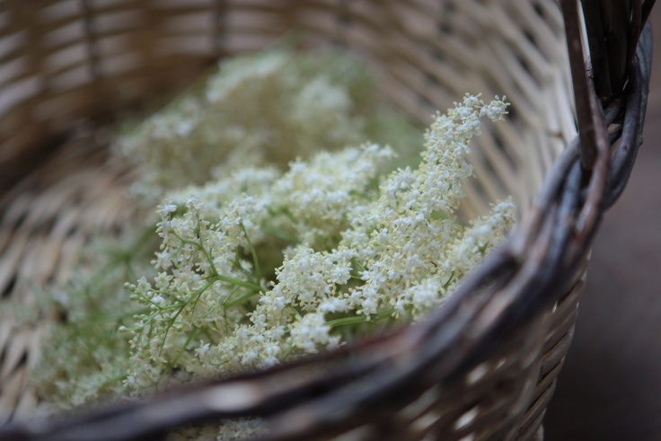 Elderflower harvest