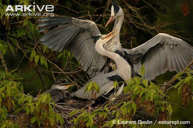 Great blue heron videos, photos and facts - Ardea herodias | ARKive