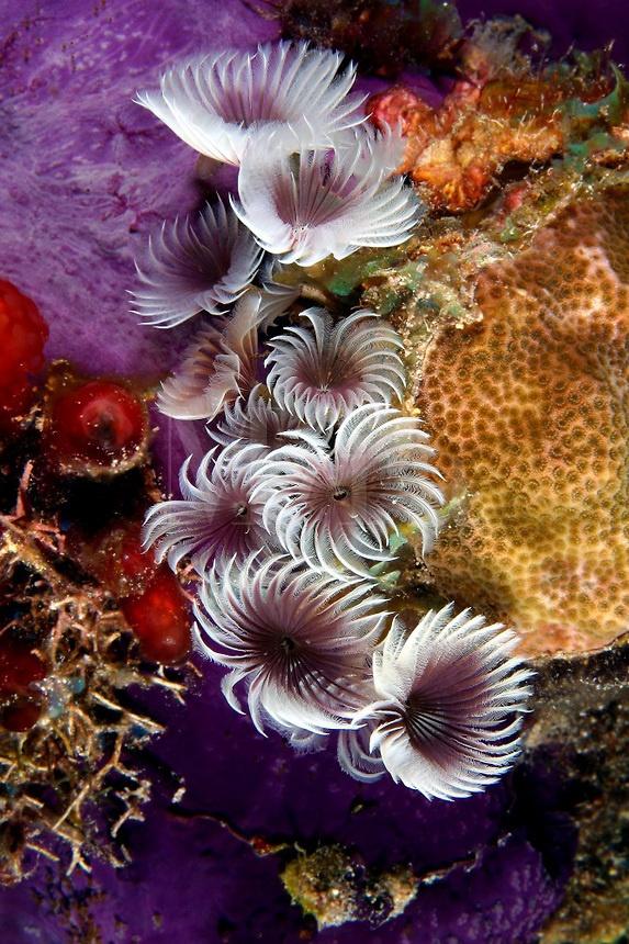 Feather Duster Worm Baby 333 best Ocean ...