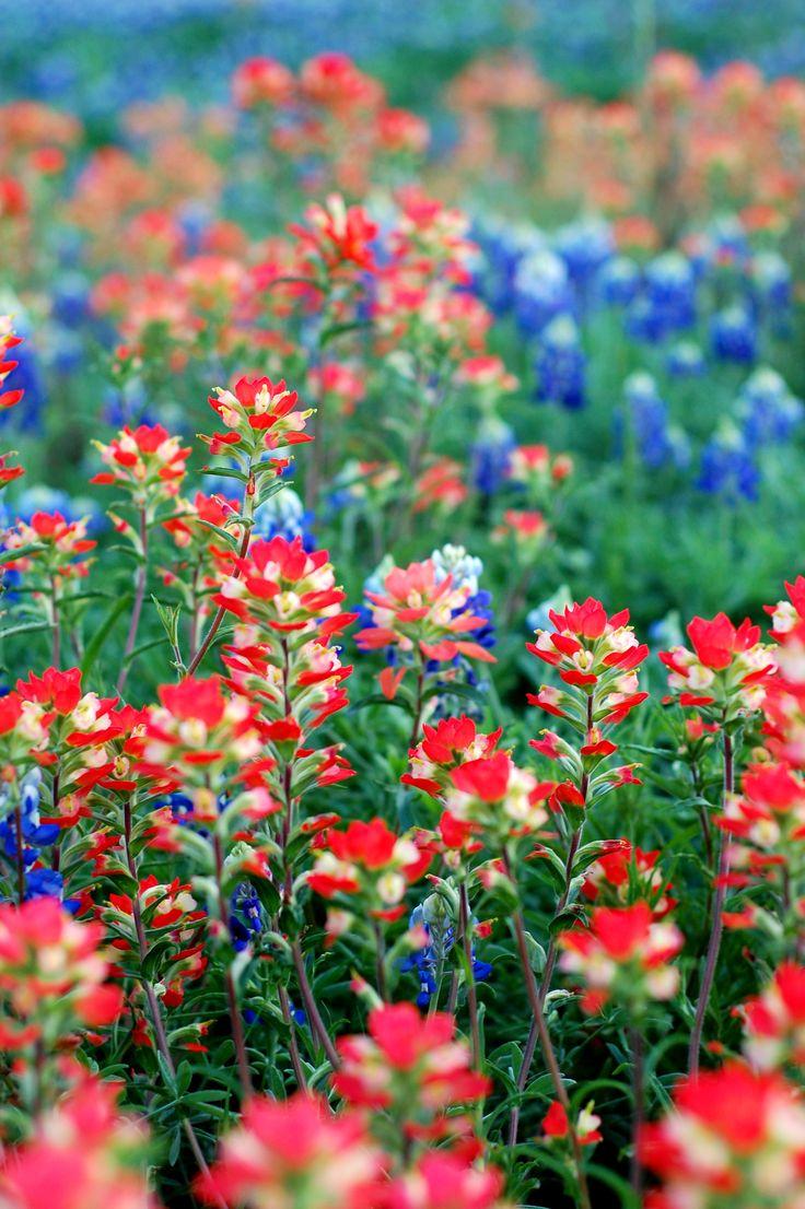 90 Best West Texas Wildflowers Images On Pinterest Wild