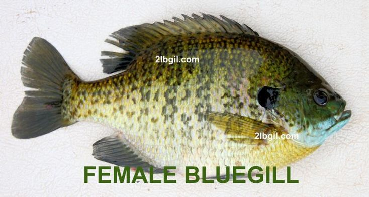33 best fish bluegill images on pinterest fishing fly for Bluegill fish tank