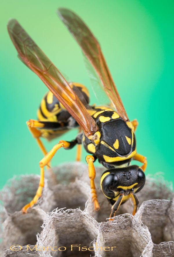 """Paper Wasp (Polistes) on nest taking care after their young.  <a href=""""http://www.marcofischerphoto.com"""">MARCOFISCHERPHOTO</a> <a href=""""http://www.creative-macros.com"""">CREATIVE-MACROS</a> <a href=""""http://www.facebook.com/marcofischerphoto"""">FACEBOOK</a> <a href=""""http://marco-fischer.pixels.com"""">ARTSHOP</a>"""