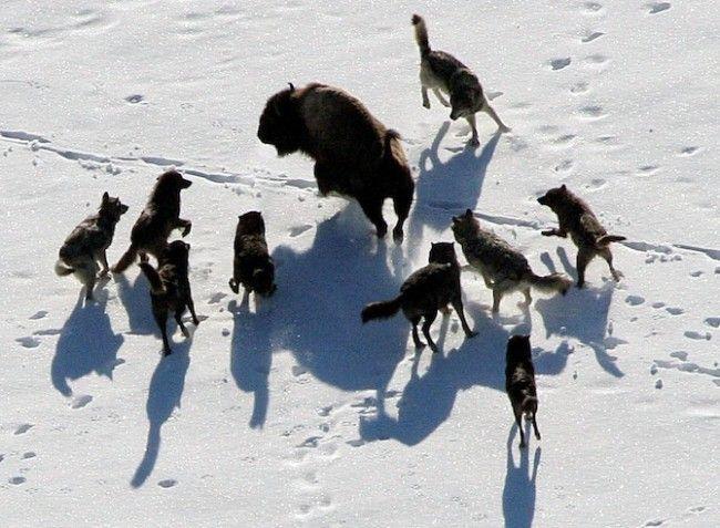 In beeld: wolven in het wild - KnackWeekend.be //- © Reuters Een roedel grijze wolven omsingelt een bizon in Yellowstone National Park.