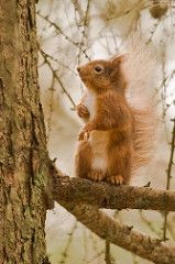 Red Squirrel | by SteveG2001