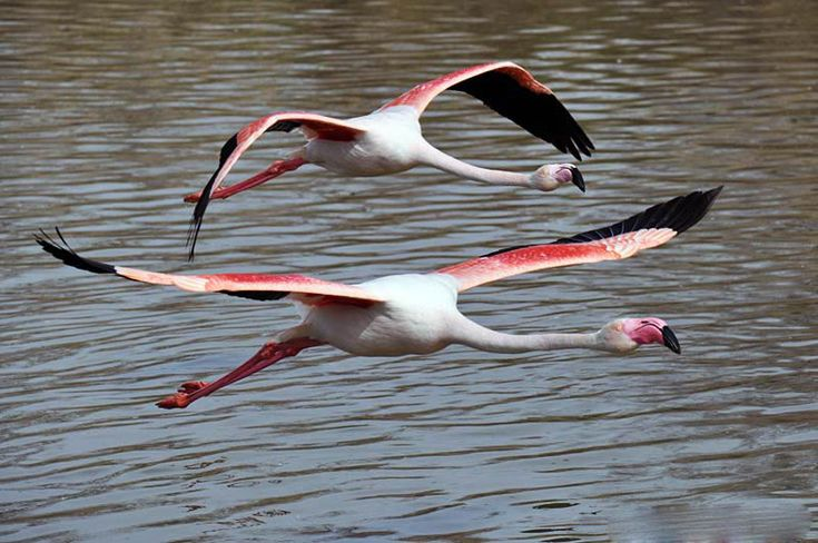 indian greater flamingo birds flying pictures | http://www.atozpictures.com/greater-flamingo-pictures