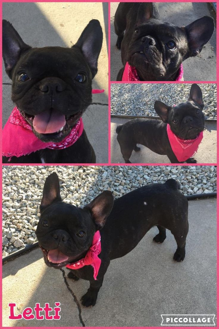 Meet Letti, an adoptable French Bulldog looking for a forever home. If you're looking for a new pet to adopt or want information on how to get involved with adoptable pets, Petfinder.com is a great resource.