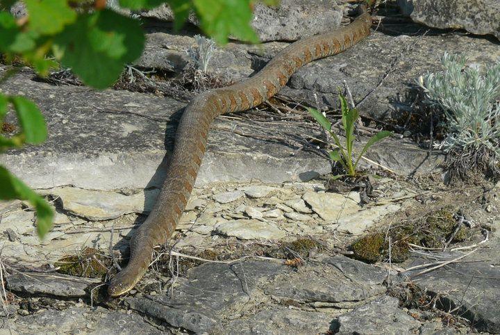 Huge snake at low island Little current