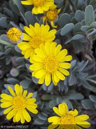 Hertia cheirifolia. om commun : Othonnopsis à feuilles de giroflée  Synonyme : Othonnopsis cheirifolia    Feuilles très originales, persistantes, grises, épaisses, formant un couvre-sol dense. Floraison jaune vif essentiellement au printemps, mais qui peut durer jusqu'à l'été.     Origine : Algérie, Tunisie.