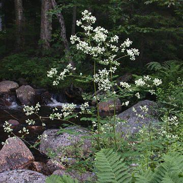 Thalictrum Pubescens | Thalictrum pubescens Pursh - Tall Meadow Rue