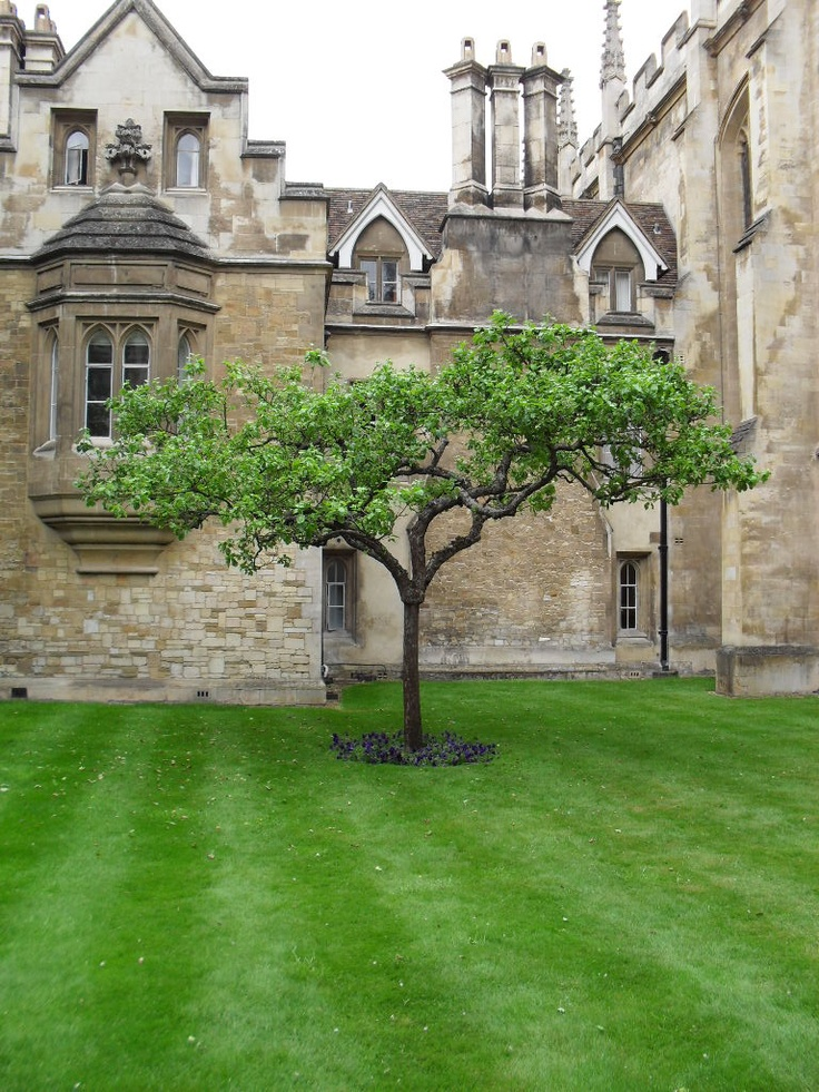 """Newton's apple tree, Trinity College, University of Cambridge, Cambridgeshire, England, UK. Apple tree sitting in the garden outside Sir Isaac Newton's apartment at Trinity College, Cambridge, England. Grown from a graft of """"the apple tree"""" reputed to have inspired Newton's theory of gravitation."""